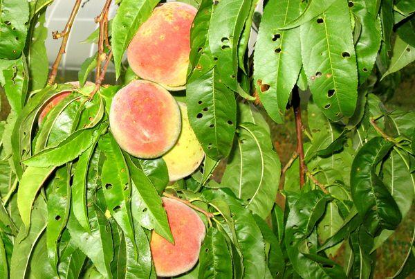 клещи на персике