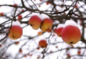 Правила подготовки яблонь к зиме и как лучше укрыть посадки