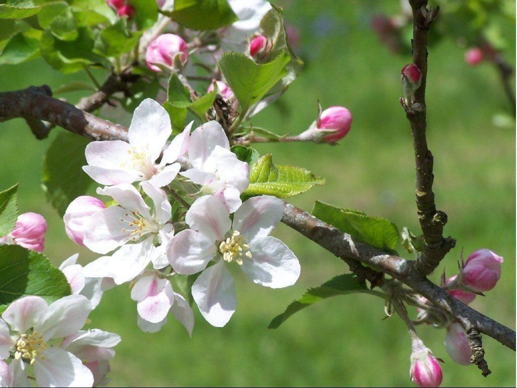 цветение яблок