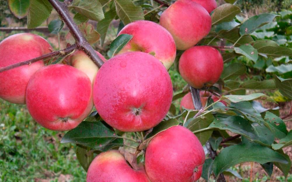 сорта яблони