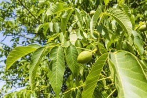 Сроки и методы прививки грецкого ореха в домашних условиях летом