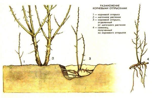 размножение яблони