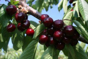 Описание и выращивание черешни сорта Ревна, опылители