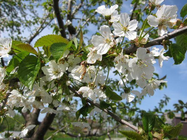 цветки черешни