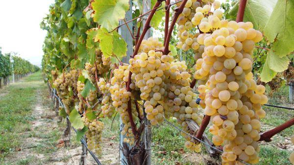 лозы виноградные