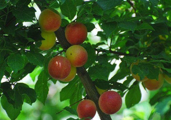 плоды Мирабель
