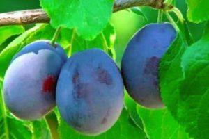 Описание и специфика выращивания сливы сорта Смолинка
