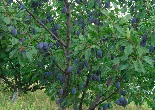 дерево смолинки