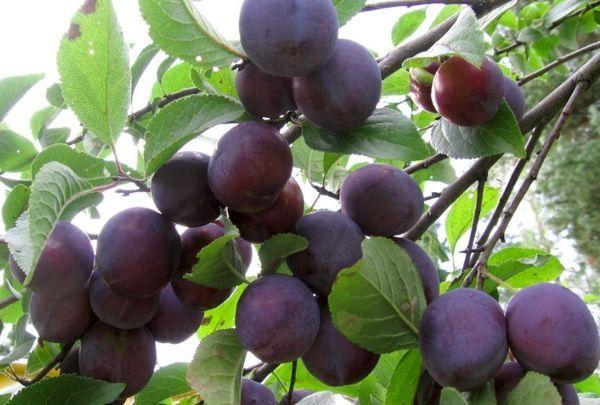 ветки с плодами