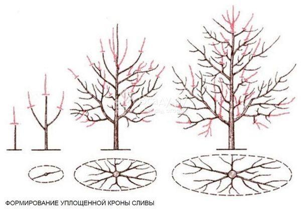 формирование кроны