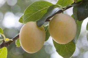 Описание и характеристики сливы сорта Утро, технология выращивания