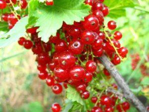 Описание черного и красного сорта смородины Ильинка, технология выращивания