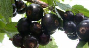 Описание черной смородины сорта Нара, посадка и уход