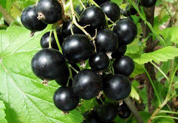 плоды венеры