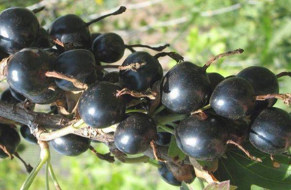 ягоды черные