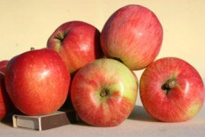 Описание яблони сорта Солнышко, правила посадки и ухода