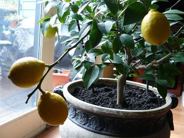 горшок с лимоном