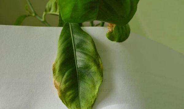 скрученные листья