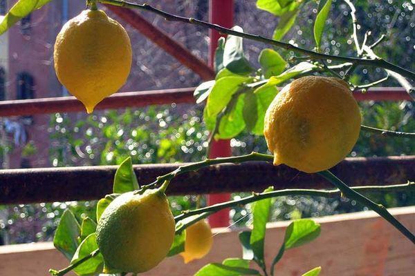 полив лимона