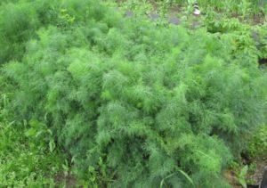 Описание и правила выращивания укропа сорта Дилл