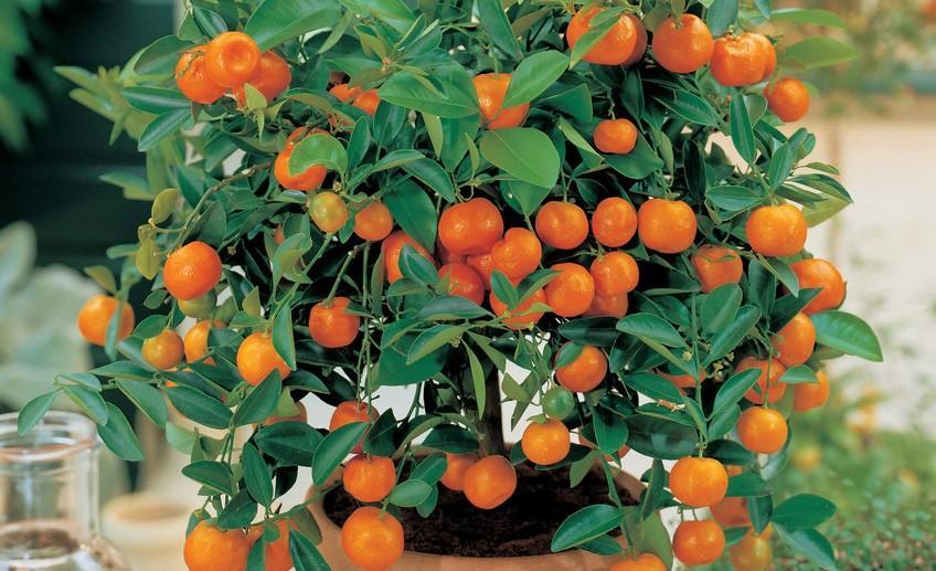 мандаринное дерево