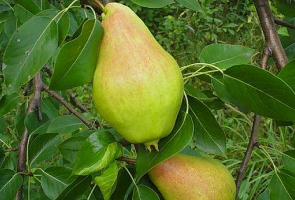 плоды видной