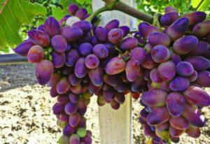 Описание и характеристика винограда сорта Байконур, посадка и уход