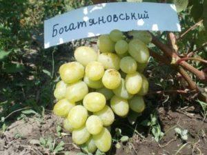 Описание сорта винограда Богатяновский, правила посадки и ухода