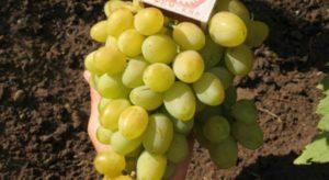 Описание винограда сорта Галахад, правила посадки и ухода