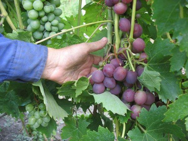 Нормирование урожая