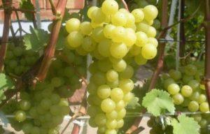 Описание и выращивание винограда сорта Коринка русская