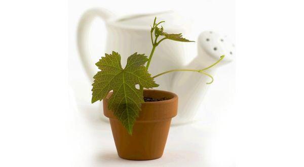виноград из семян
