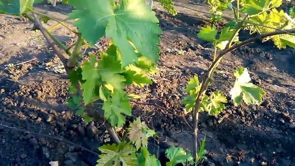 Нормирование винограда