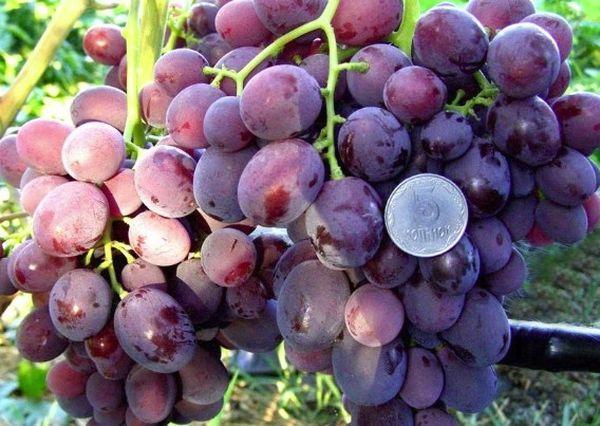 крупноплодный виноград