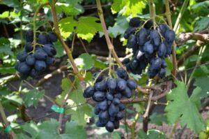 Описание и правила выращивания винограда сорта Ромбик