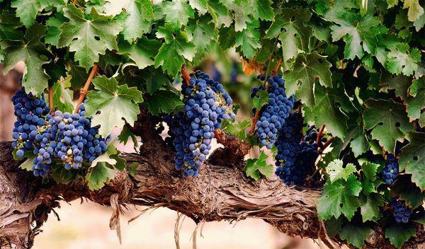 виноград гроздья