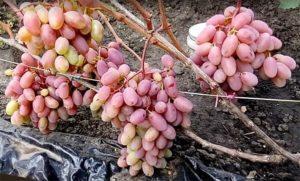 Описание и технология выращивания винограда сорта Сенсация