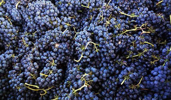 Собранный виноград