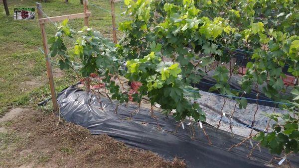 укрытый виноград