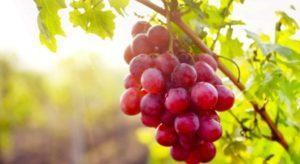 Описание винограда сорта София, правила посадки и ухода