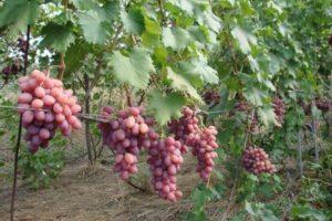 Описание и тонкости выращивания винограда сорта Тайфи
