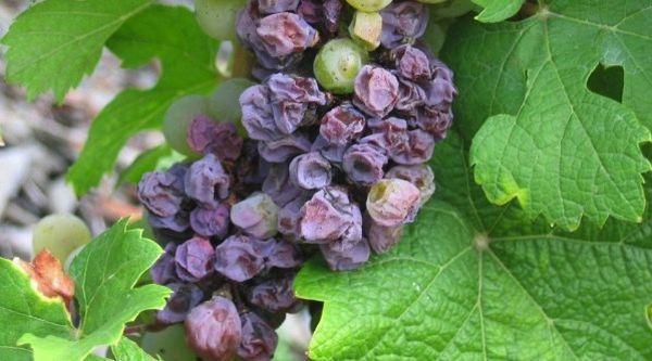 бактериоз винограда