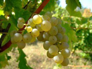 Описание и тонкости выращивания винограда сорта Совиньон