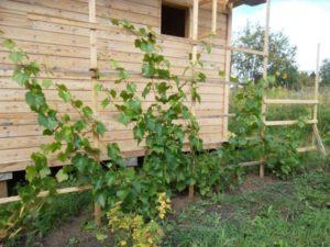 Описание и тонкости выращивания винограда сорта Тимур