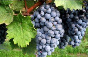Характеристики и описание винограда сорта Вэлиант, посадка и уход