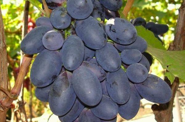 плоды велика