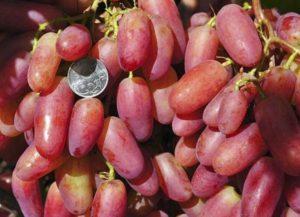 Описание и характеристика винограда сорта Юбилей Новочеркасска