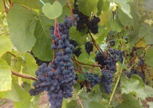 Описание винограда сорта Загадка Шарова, правила посадки и ухода