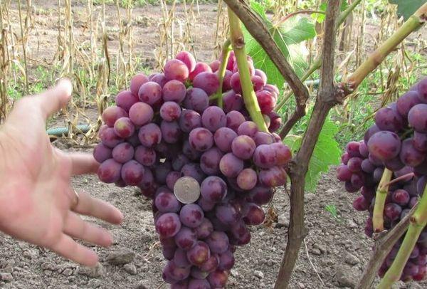 Описание гроздей