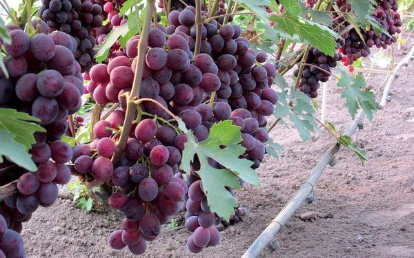 виноград на участке